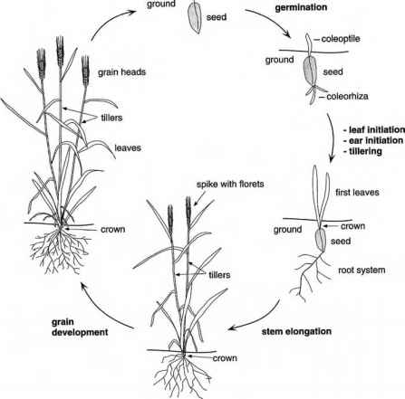 Image Gallery oat plant life cycle