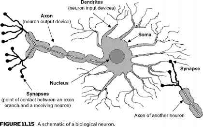Biological Neurons