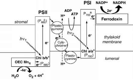 Natures Photosynthetic Machinery Solar Hydrogen Generation